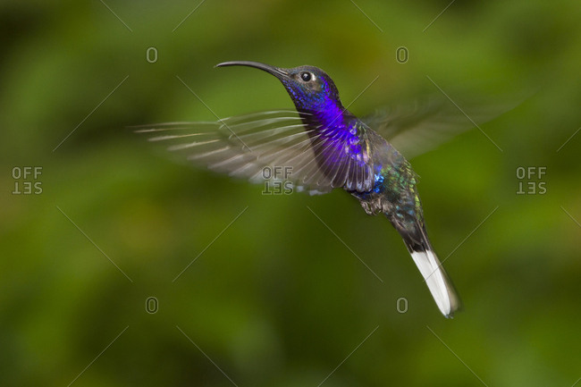 Flying Violet sabrewing (Campylopterus hemileucurus) hummingbird with wings and tail blurring due to motion