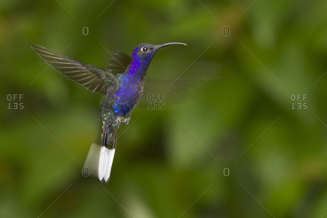 Violet sabrewing (Campylopterus hemileucurus) hummingbird in flight with wings and tail blurred by motion