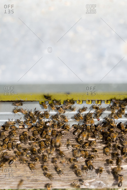 Close up of Honeybees inside a beehive.