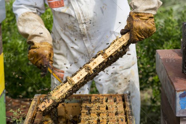 Beekeeper harvesting honey