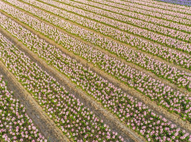 Aerial view of rows of beautiful tulip flowers at Keukenhof botanical garden in Lisse, Netherlands