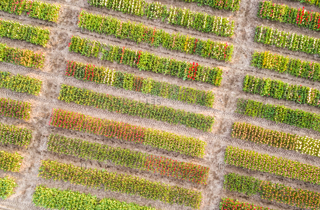 Aerial view of rows of beautiful bulb flowers in tulip fields in Lisse, Netherlands