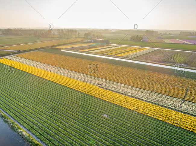 Aerial view of beautiful tulip fields at sunset in Lisse, Netherlands
