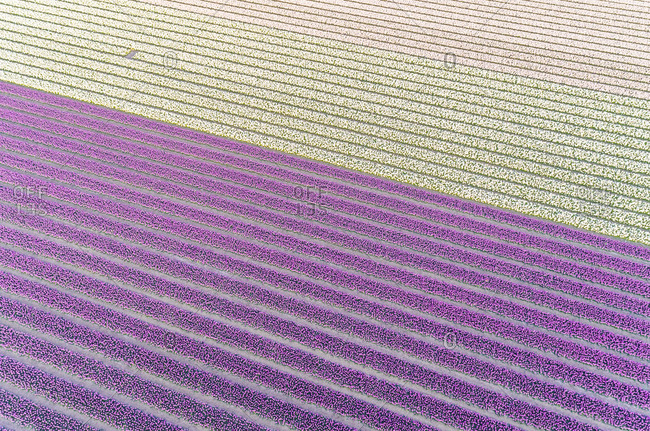 Aerial view of white and purple rows of tulips at Keukenhof botanical garden in Lisse, Netherlands
