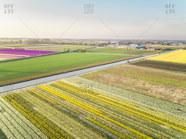 Aerial view of beautiful colorful tulip fields in Lisse, Netherlands