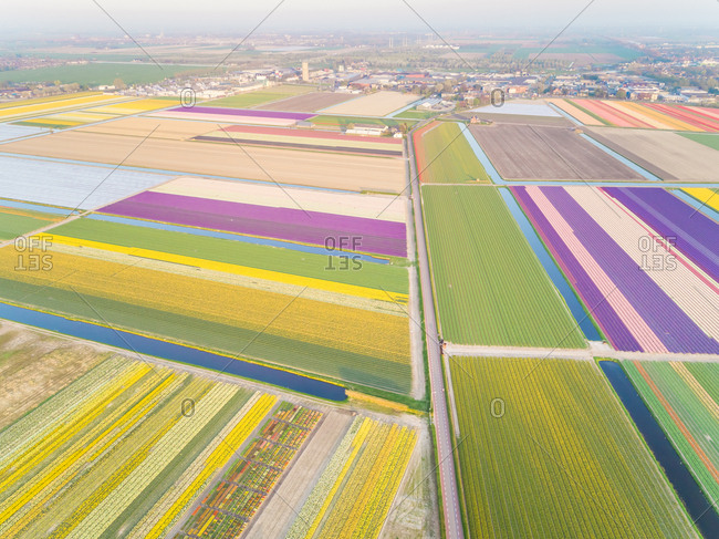 Aerial view of amazing colorful blossoming flower fields in Lisse, Netherlands