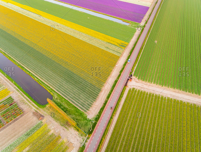 Aerial view of asphalt road surrounded by beautiful colorful tulip fields in Lisse, Netherlands