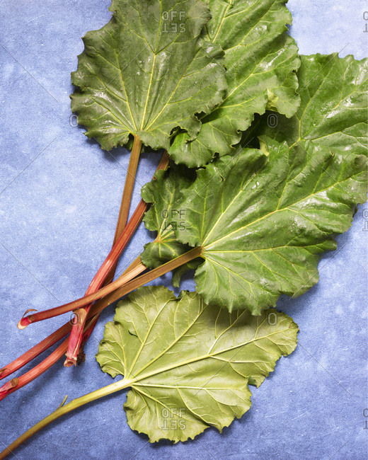 Five leafy stalks of raw rhubarb on a textured blue background.