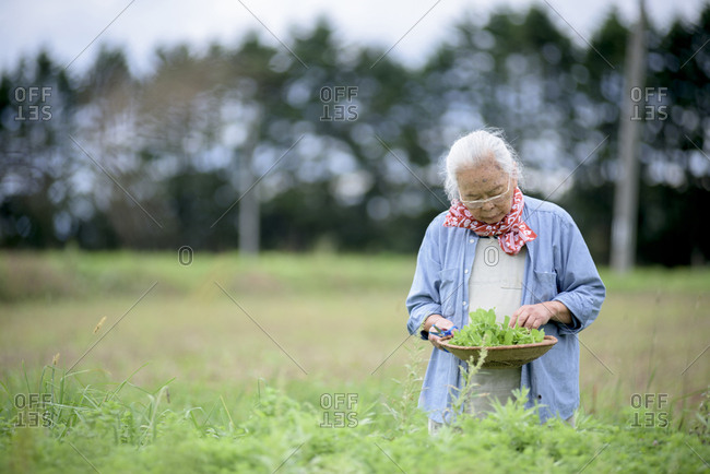 Elderly woman with grey hair standing in a garden, holding basket with fresh vegetables, looking down