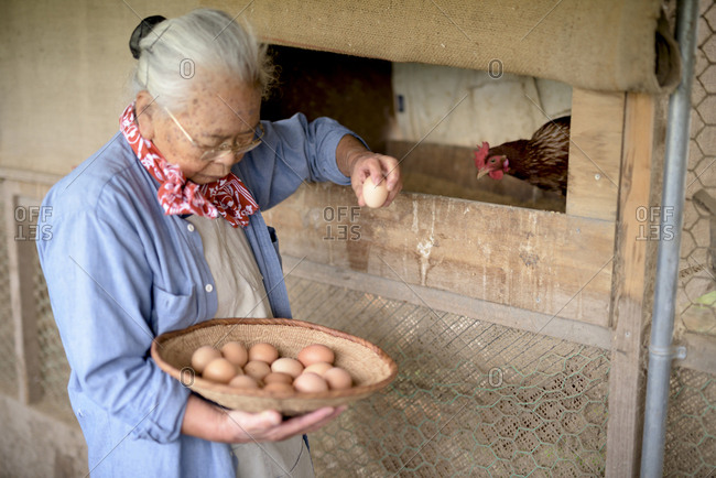 Elderly woman with grey hair standing in a chicken house, holding basket, collecting fresh eggs