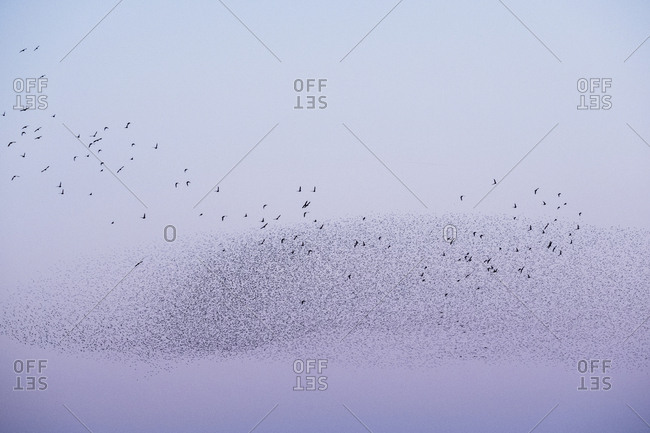 Spectacular murmuration of starlings, a swooping mass of thousands of birds in the sky