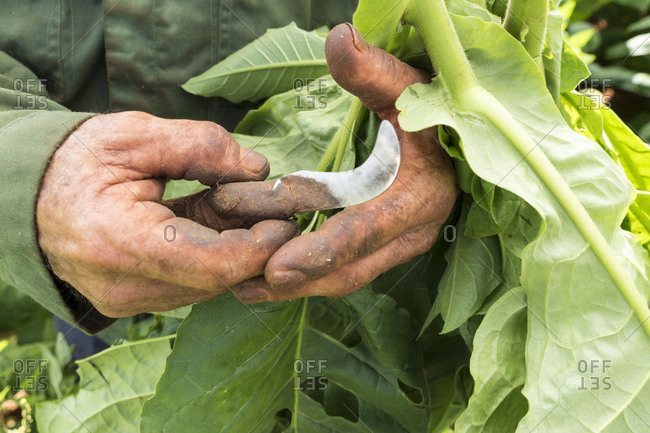 Close up of tobacco farmer's hands cutting tobacco leaves on farm in Vinales, Cuba