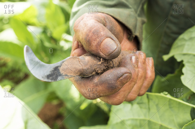 Rough hand of tobacco farmer holding tobacco cutting blade in Vinales, Cuba