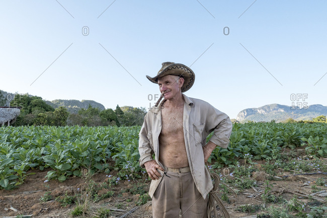 Vinales, Cuba - February 24, 2015: Portrait of farmer with cigar in mouth with tobacco crop in background