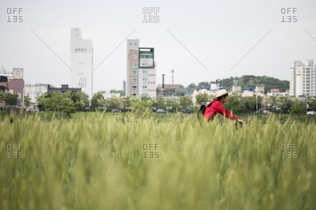Ulsan, Korea - May 5, 2018: A man bicycles near a field of blue barley