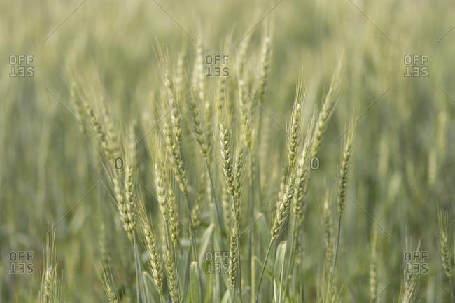 Green barley in a field