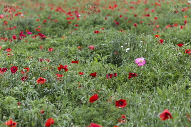 A pink poppy amid a field of red poppies