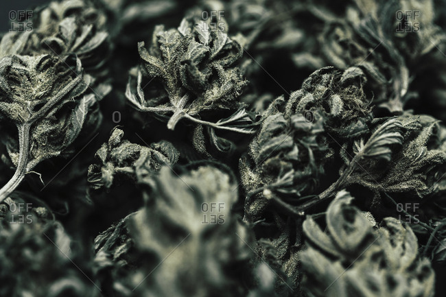 Close-up of dried marijuana leaves