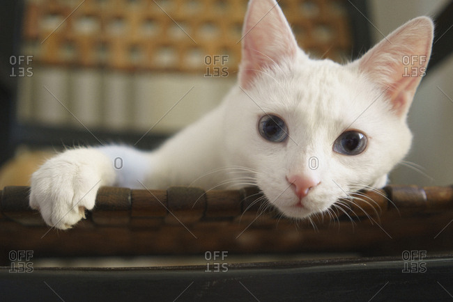 Close-up portrait of white cat on chair at home