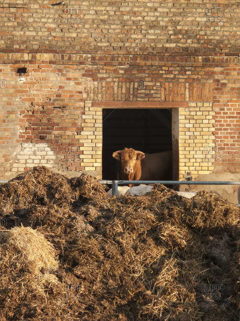 Cow looking through barn window