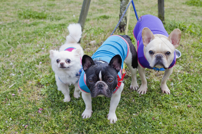 Portrait of Chihuahua and French Bulldogs in park