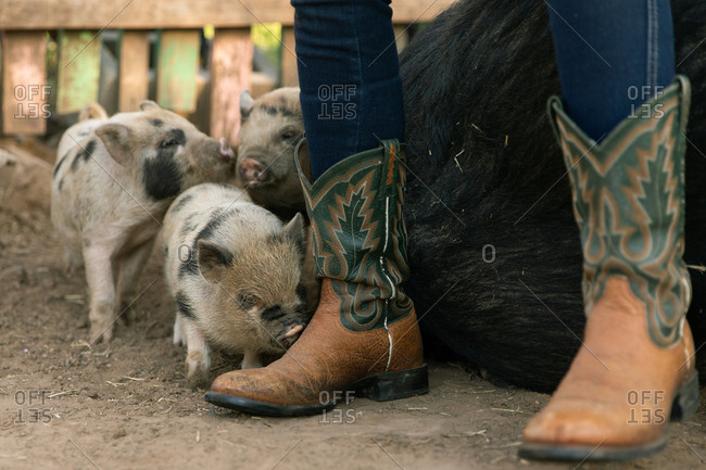 Little piglet sniffing around the cowboy boots of woman sitting on the back of a pig on ranch in Austin, Texas