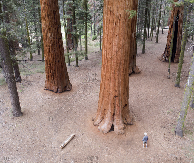 High angle view of man in cowboy hat dwarfed by Giant Redwood trees in Sequoia National Park, California