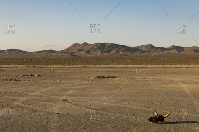 Cow horns lying in middle of dry lake bed in El Mirage, California