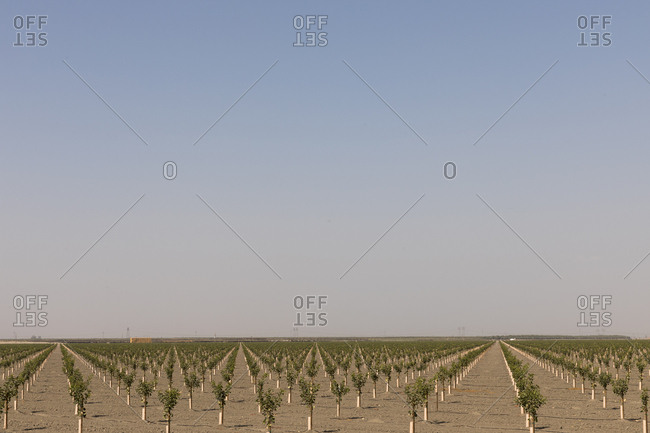 Numberless saplings growing out of the dry soil of farm in California