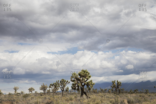 Joshua Trees sprout from the flat desert landscape in California