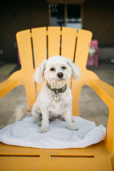Little white dog sitting on outdoor chair