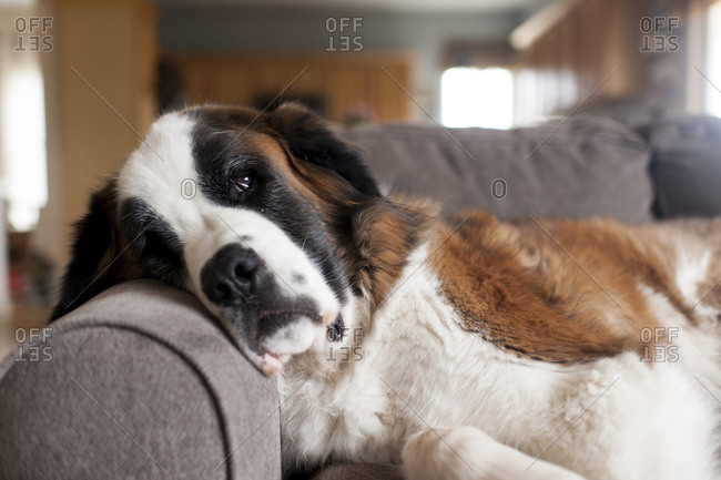 Dog lying on couch in living room at home