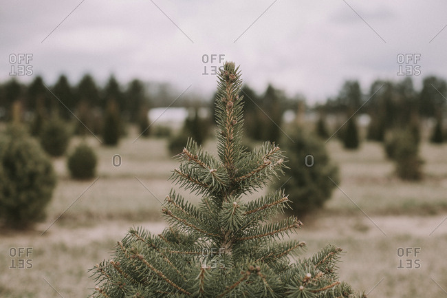 Close-up of coniferous trees growing on field