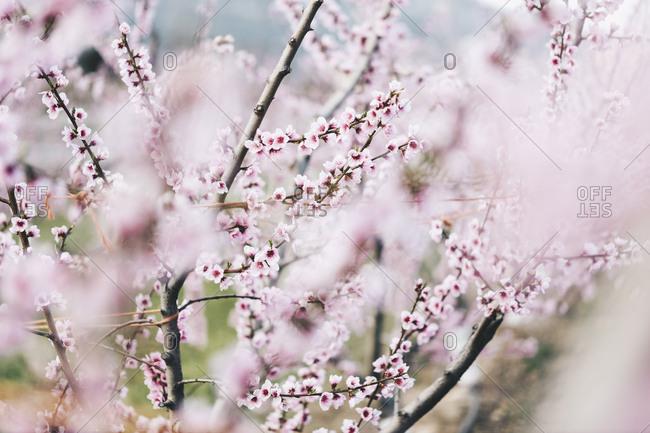 Spain- Lleida- Cherry blossoms