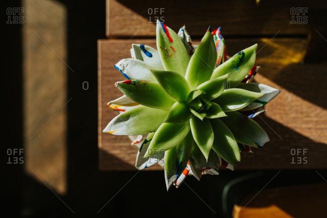 Houseleek in a pot on a table