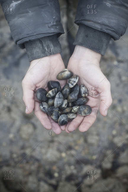 Close up of man holding clams in his hands