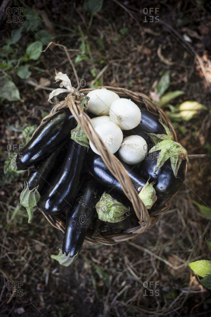 Overhead view of a straw basket full of freshly gathered eggplants and white onions
