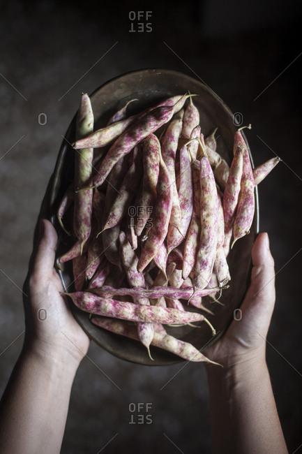 Overhead shot of a person holding a tray of fresh borlotti beans freshly harvested