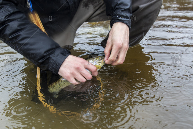 Close up of fly fisherman removing hook from mouth of Trout while crouching in the river