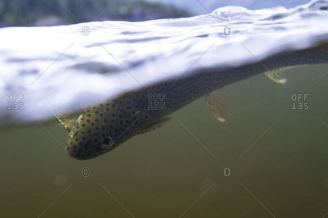 Under water shot of hooked Trout with fly fisherman's fly in mouth