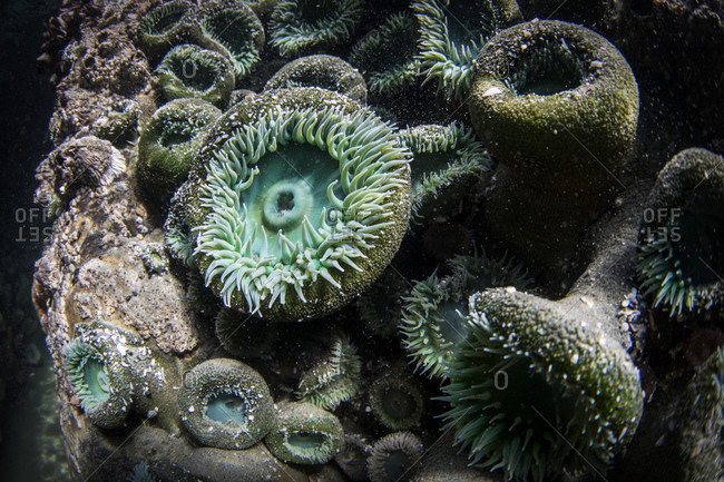 Underwater photo of colorful sea anemones attached to rock