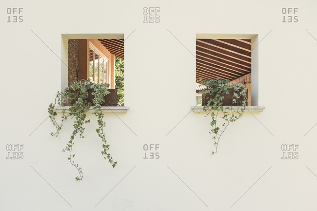Potted vine plants in windows