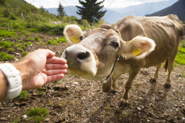 Cow is smelling hand of hiker at remote mountain farm Platina Leskovca, Triglav, Slovenia