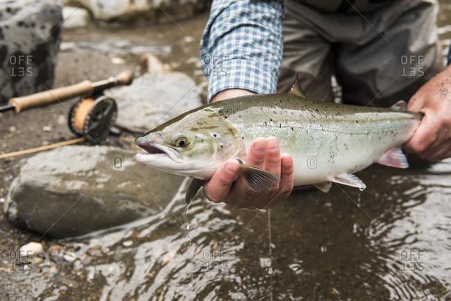 Fly fisherman holding caught grilse Atlantic salmon (Salmo salar), Gaspe, Quebec, Canada