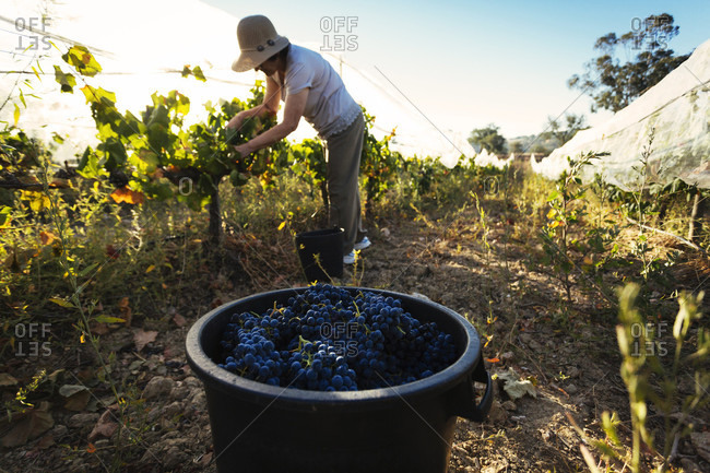 Bucket with grapes in front of woman harvesting grapes in vineyard, Estremoz, Alentejo, Portugal