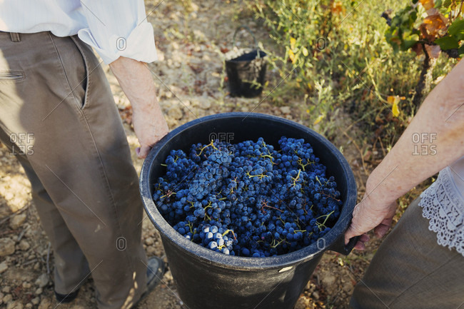 Two senior women carrying bucket filled with grapes in vineyard, Estremoz, Alentejo, Portugal