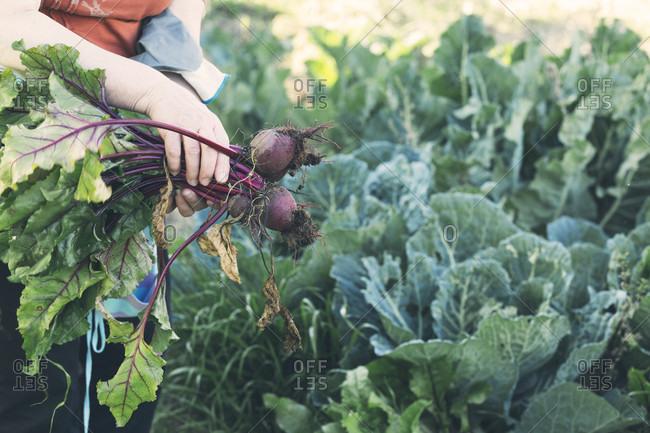 Hands of senior woman holding beets in vegetable garden, Estremoz, Alentejo, Portugal