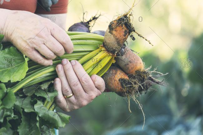 Hands of senior woman holding golden beets in vegetable garden, Estremoz, Alentejo, Portugal
