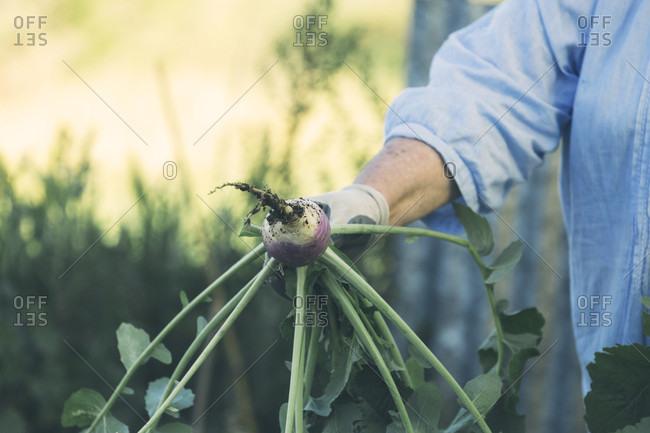 Hand of senior woman holding turnip in vegetable garden, Estremoz, Alentejo, Portugal