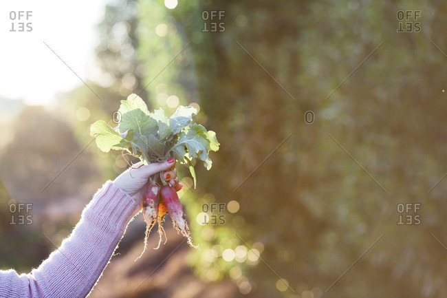 Arm of mature woman holding bunch of radishes, Estremoz, Alentejo, Portugal